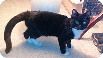 Domestic Shorthair Kitten for adoption in Alamo, California - Thing 1
