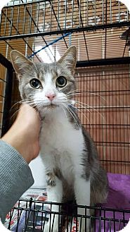 Domestic Shorthair Cat for adoption in THORNHILL, Ontario - Catalina
