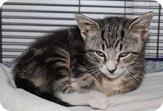 Domestic Shorthair Kitten for adoption in Brooklyn, New York - FullMoon
