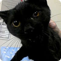 Adopt A Pet :: Licorice - Trevose, PA