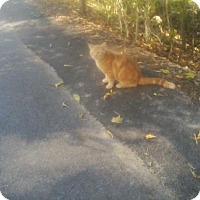 American Shorthair Cat for adoption in Fayetteville, West Virginia - Scottie