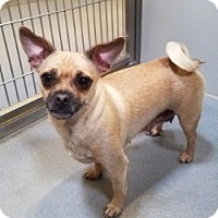 Adopt A Pet :: MIZZY - Gustine, CA