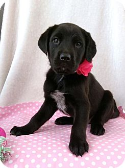 Labrador Retriever/German Shepherd Dog Mix Puppy for adoption in Newark, Delaware - April