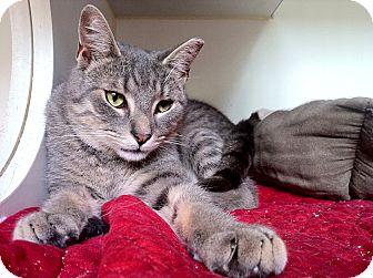 Domestic Shorthair Cat for adoption in Brooklyn, New York - Humphrey