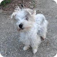 Adopt A Pet :: Stevie - Suwanee, GA