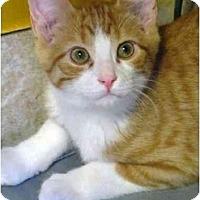 Adopt A Pet :: Ginger Snap - Markham, ON