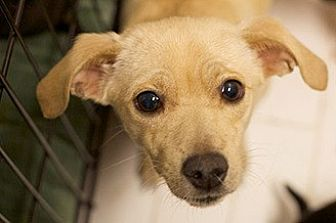Terrier (Unknown Type, Small) Mix Puppy for adoption in Studio City, California - ELLE