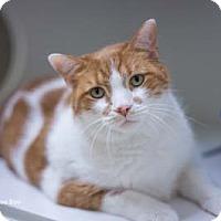 Adopt A Pet :: Boo Boo - Merrifield, VA