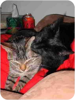 Domestic Shorthair Kitten for adoption in Proctor, Minnesota - Pua