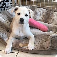 Adopt A Pet :: Bonnie - GREENLAWN, NY