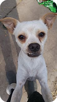 Terrier (Unknown Type, Medium)/Pug Mix Dog for adoption in Fort Atkinson, Wisconsin - Tony