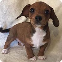 Adopt A Pet :: Freddie - Alabaster, AL