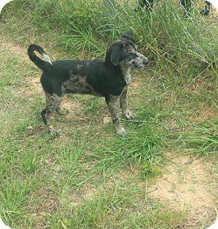 Labrador Retriever Mix Puppy for adoption in Livingston, Texas - Rosebud