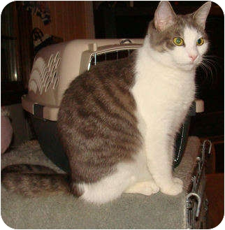 Domestic Shorthair Cat for adoption in Spotsylvania, Virginia - Tinker