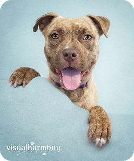 Boxer/Staffordshire Bull Terrier Mix Dog for adoption in Phoenix, Arizona - MOCHA