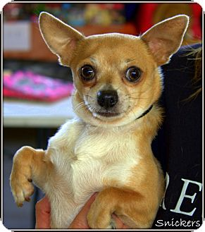 Chihuahua Mix Dog for adoption in Yuba City, California - Snickers