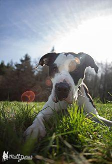 American Bulldog/Pit Bull Terrier Mix Dog for adoption in Tillamook, Oregon - Money