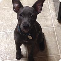 Adopt A Pet :: Anja - Homewood, AL