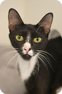 Oriental Cat for adoption in Staunton, Virginia - Roseanna