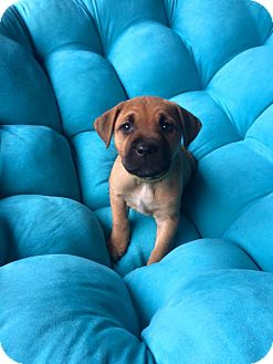 Terrier (Unknown Type, Medium)/Boxer Mix Puppy for adoption in Mayflower, Arkansas - Ruby Jr