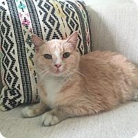 Adopt A Pet :: Sally Sue - Addison, IL