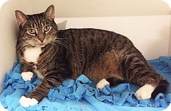 Domestic Shorthair Cat for adoption in Colorado Springs, Colorado - Shilah-Marie