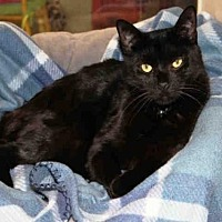 Domestic Mediumhair Cat for adoption in Hampton Bays, New York - RUSSELL