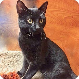 Domestic Shorthair Cat for adoption in Long Beach, New York - Rajah