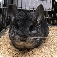 Adopt A Pet :: Gigi - Hammond, IN