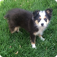 Adopt A Pet :: Stanley - Overland Park, KS