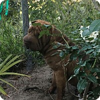 Shar Pei Dog for adoption in Las Vegas, Nevada - Stormy