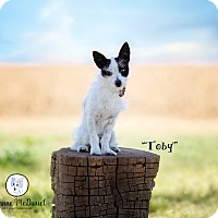 Adopt A Pet :: Toby - Lubbock, TX