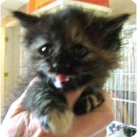 Adopt A Pet :: Litter of Pie's Kittens - Westfield, MA