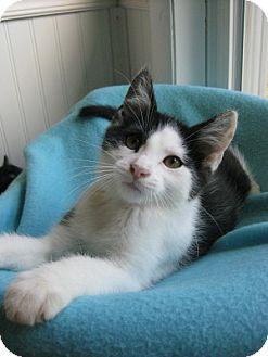Domestic Shorthair Kitten for adoption in Bloomsburg, Pennsylvania - Eli
