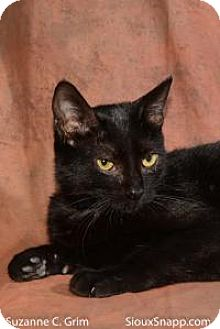 Domestic Shorthair Cat for adoption in New Orleans, Louisiana - Scarlet
