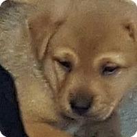 Adopt A Pet :: EBONY TAN BOY - Pompton Lakes, NJ
