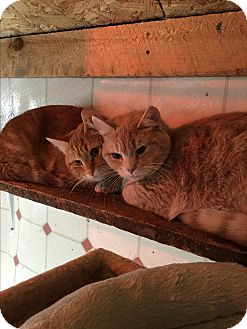Domestic Shorthair Cat for adoption in Sanford, Maine - See below