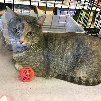 Domestic Shorthair Cat for adoption in Gilbert, Arizona - Carly Sue