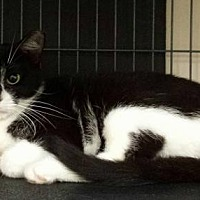 Domestic Shorthair Cat for adoption in Smithtown, New York - PRETTY