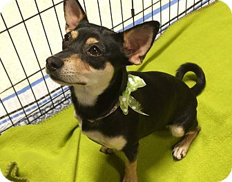 Miniature Pinscher Mix Dog for adoption in Phoenix, Arizona - Baby