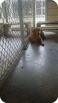 Labrador Retriever Mix Dog for adoption in Livingston Parish, Louisiana - Lovely