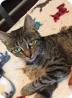 Domestic Shorthair Cat for adoption in Troy, Michigan - Morticia