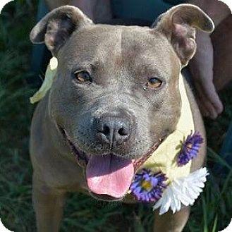 Staffordshire Bull Terrier/American Bulldog Mix Dog for adoption in Athens, Georgia - Idgie