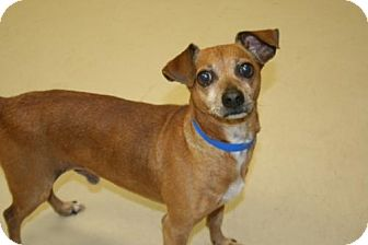 Terrier (Unknown Type, Medium)/Dachshund Mix Dog for adoption in Columbia, Tennessee - Skeeter/GA