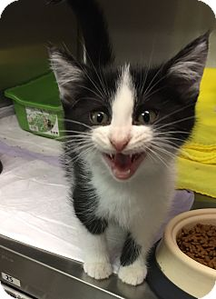 Domestic Shorthair Kitten for adoption in Danville, Indiana - Oreo