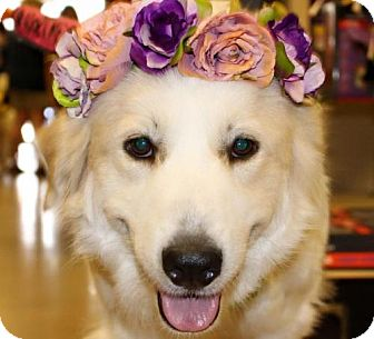 Great Pyrenees Dog for adoption in Garland, Texas - Mary Lou