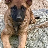 Adopt A Pet :: Windham - Studio City, CA