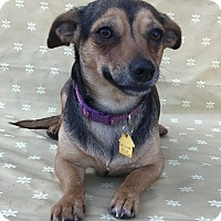Chihuahua Mix Dog for adoption in Garland, Texas - Duchess