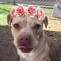 Adopt A Pet :: Pumpkin-California - Fulton, MO