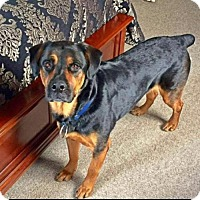 Adopt A Pet :: Howie - Sweet Rottie Mix - New Hartford, NY